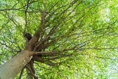 Copa tropical (ivoriensis A de Terminalia chev Chev de Terminalia Imágenes de archivo libres de regalías