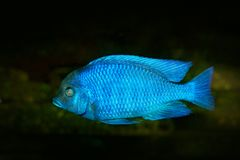 Copadichromis borleyi, cichlid fish endemic Lake Malawi in East Africa. Blue fish in the water. Fishkeeping hobby specie of fish. Stock Images