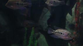 Copadichromis-ilesi in schön verziertem Marine Aquarium-Vorratgesamtlängenvideo stock video footage