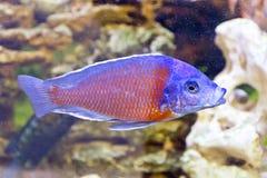 Copadichromis Kadango in aquarium Royalty Free Stock Images