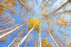 Copas de árbol del abedul en otoño Foto de archivo libre de regalías
