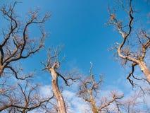Copas de árvore adiantadas da mola Fotos de Stock Royalty Free