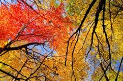 Copas de árvore coloridas do bordo, outono foto de stock royalty free