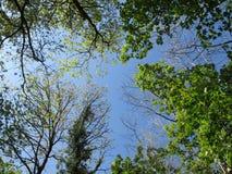 Copas de árvore de Galês Foto de Stock