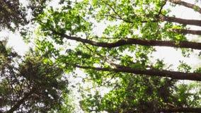 Copas de árvore na floresta do verão filme