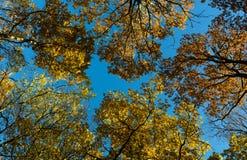 Copas de árvore na queda Fotos de Stock Royalty Free