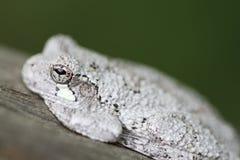 Cope Drzewna żaba Zdjęcie Royalty Free
