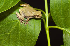 Cope's Gray Tree frog. On a leaf Royalty Free Stock Photography