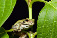 Cope's Gray Tree frog. On a leaf Royalty Free Stock Photos