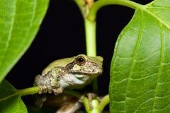 Cope's Gray Tree frog Royalty Free Stock Photos