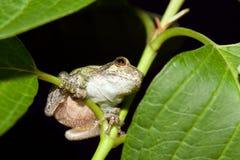 Cope's Gray Tree frog Stock Photos