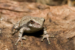 Cope's Gray Tree frog. Standing at attention Royalty Free Stock Images