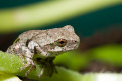Cope's Gray Tree frog Royalty Free Stock Photography