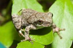 Cope's Gray Tree frog Royalty Free Stock Photo