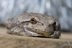 Cope's Gray Tree Frog. Cope's Gray Tree Frog resting on a ledge Royalty Free Stock Photography