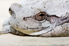 Cope's Gray Tree Frog. Cope's Gray Tree Frog resting on a ledge Stock Images