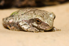 Cope's Gray Tree Frog. Cope's Gray Tree Frog resting on a ledge Stock Photography