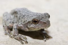Cope's Gray Tree Frog Stock Image