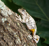 Cope's gray tree frog Hyla chrysoscelis, versicolor. Cope's gray tree frog Hyla chrysoscelis / versicolor. Frog climbing up the trunk of a tree stock photography
