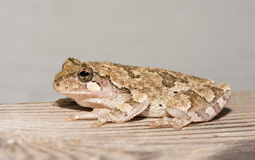 Cope's gray tree frog preched on a wooden rail stock images