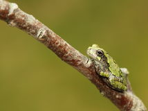 Cope's Gray Treefrog Royalty Free Stock Images