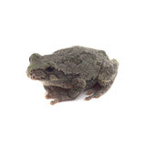 Cope's Grey Tree Frog. Isolated on White With Shadow Stock Image