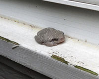 Cope's Grey Tree Frog. Camouflaging himself on a windowsill in Paulding County, Georgia, USA. Scientific name: Hyla versicolor or Hyla chrysoscelis Royalty Free Stock Image