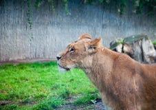 COPENHAGEN, DENMARK - August 2017: Female Lion at Copenhagen Zoo. COPENHAGEN, DENMARK - August 2017: Close up of female Lion at Copenhagen Zoo royalty free stock image