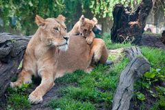 COPENHAGEN, DENMARK - August 2017: Female Lion and cub at Copenhagen Zoo. With grass and trees royalty free stock images
