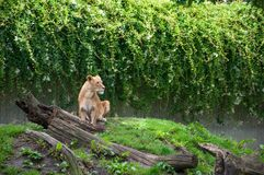 COPENHAGEN, DENMARK - August 2017: Female Lion at Copenhagen Zoo. With grass and tree trunks royalty free stock photography