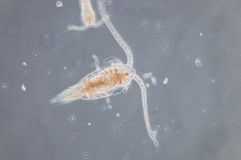 Copepod. Are a group of small crustaceans found in the sea and nearly every freshwater habitat Stock Image