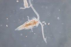 Copepoda Immagine Stock