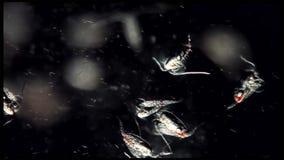 Copepoddierlijk plankton een kril in zoetwater en Mariene ondermicroscoop royalty-vrije stock afbeeldingen