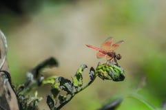 Copera marginepes蜻蜓栖息处 库存照片