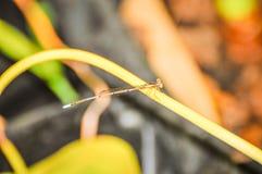 Copera marginepes蜻蜓栖息处 免版税库存照片
