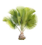 Copernicia baileyana palm isolated with clipping path Royalty Free Stock Photo