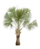 Copernicia hospita palm isolated on white background Stock Photo