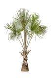 Copernicia hospita palm isolated on white background Stock Images