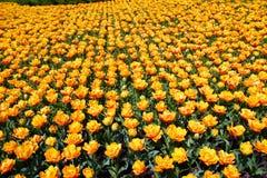 Coperta dei tulipani fotografia stock
