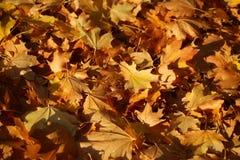 Coperta delle foglie di acero cadute Immagine Stock
