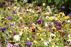 Coperta viola tricolore Immagini Stock