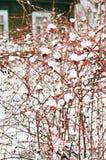 Coperto di cespugli di rosa canina della neve con le bacche rosse nell'inverno fotografie stock