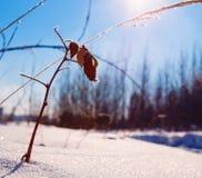 Coperto di erba del gelo su fondo del giorno di inverno del sole Immagini Stock