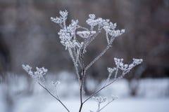 Coperto di pianta coperta di spine del gelo fotografia stock libera da diritti