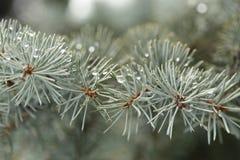 Coperto, nevoso, di legno, attillato, gocce, macro, verde, coperto di spine, ago, sempreverde, blu, abete, conifero, ghiaccio, na Fotografia Stock