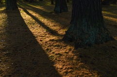 Copertura al suolo fra i tronchi dei larici nelle ombre dei tronchi di albero Immagine Stock Libera da Diritti