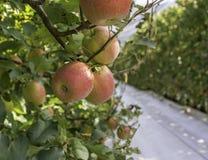 Copertura al suolo riflettente bianca sui vicoli dell'erba fra le file di di melo di varietà di Braeburn frutteto del Tirolo del  fotografia stock libera da diritti