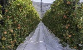 Copertura al suolo riflettente bianca sui vicoli dell'erba fra le file di di melo di varietà di Braeburn frutteto del Tirolo del  immagine stock