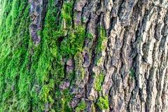 Copertura cresciuta muschio verde le pietre ruvide nella manifestazione più forrest con la macro vista Rocce in pieno del muschio Fotografia Stock Libera da Diritti