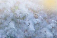 Copertura dell'erba dal riflesso del cotone con illuminazione Immagini Stock Libere da Diritti